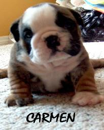 Carmen english bulldog puppy