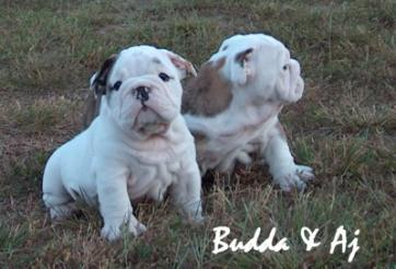 Bulldog puppies