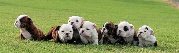 Bulldog puppies for sale