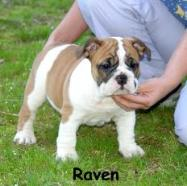 Raven bulldog puppy