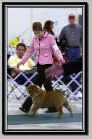 Steelebulls Hot Tamale Bulldog show pictures